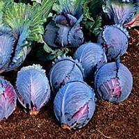 Семена капусты к/к Рокси F1 20 сем. Садыба Центр