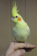 Попугай Корелла- абсолютно ручной выкормыш.