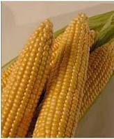 Семена кукурузы Барон F1 0,5кг. MaySeed.