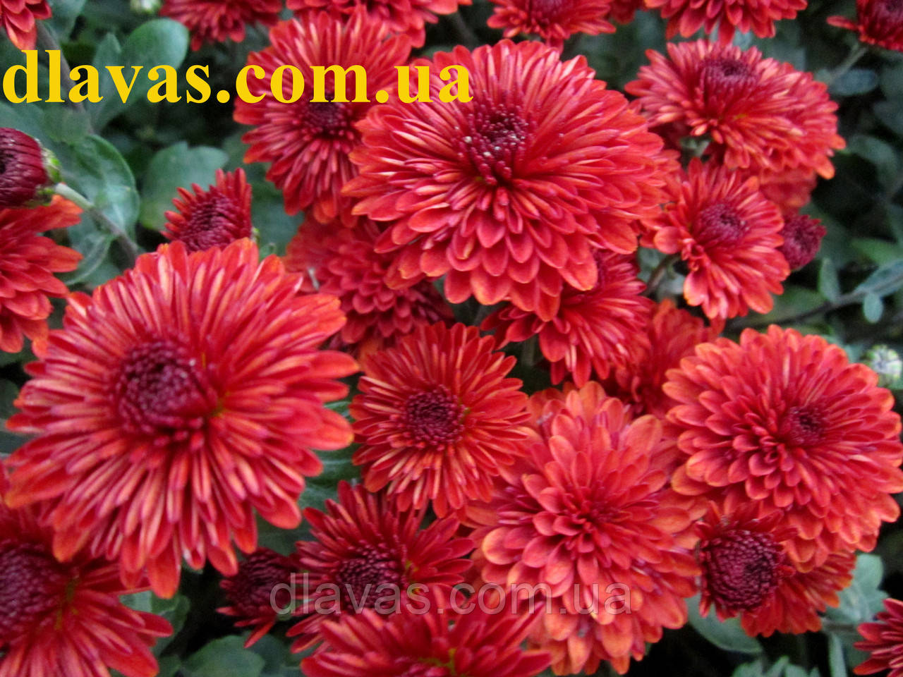 Хризантема мультифлора Маскулино оранж