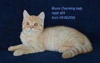 Шотландские котята окраса красный мрамор.