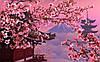 """Сакура""  цветёт и  в ноябре!"