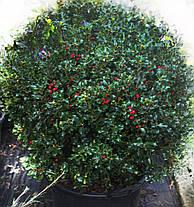 Падуб остролистный вечнозеленый (  саженцы  р9), фото 2