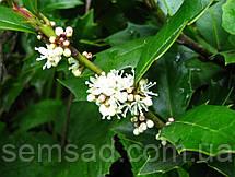 Падуб остролистный вечнозеленый (  саженцы  р9), фото 3