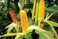 Семена гибрида кукурузы Муасон