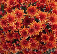 Хризантема мультифлора КОНАКО ОРАНЖ, фото 1