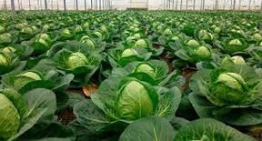 Капуста білокачанна, капуста броколі, капуста брюссельська.