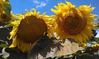 Илона CL семена подсолнечника Dow Seeds