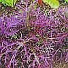 Семена салата Мизуна красная 5 гр. Коуел (Sais)