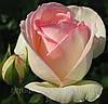 Плетистая роза Пьер де Рондсард. (в).