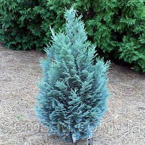 Кипарисовик лавсона Пелтс Блю \ Chamaecyparis lawsoniana Pelt's Blue( Р9 10-15см саженцы), фото 2