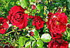 Роза Симпати. (в). Плетистая роза.
