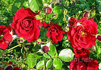 Роза Симпати. Плетистая роза.