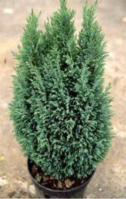 Кипарисовик лавсона Элвуди Пилар ( р9 12-15см саженцы), фото 2