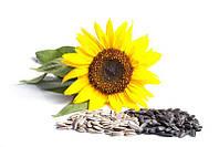Семена подсолнечника гибрид Форвард стандарт
