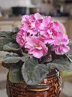 Фіалка (сенполія) рожева, стартер