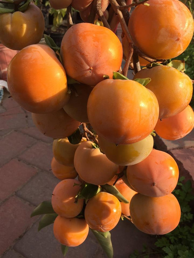 плоды хурмы осенью