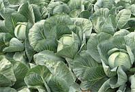 Семена позднего высокоурожайного гибрида капусты стойкого к стрессовым условиям сорт Анкома F1