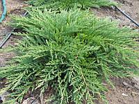 Саженцы  можжевельника почвопрокровного