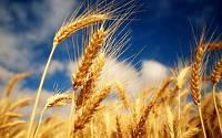 Пшеница 3 класс в порту Николаев Одесса gepardd.com