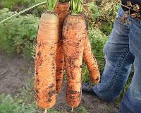 Семена моркови Монанта, от 50 г, Rijk Zwaan