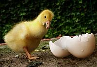 Условия успешной инкубации яиц