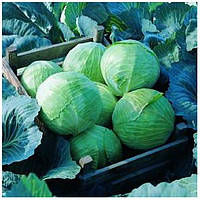 Семена капусты Леннокс F1 позднего высокоурожайного гибрида  универсального применения и товарным видом