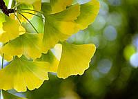 Листья Гинкго Билоба - хорошая альтернатива дорогим медикаментам.