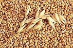 Технология выращивания озимой пшеницы