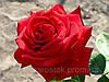 Саженцы роз Ред Стар.  (ввв). Ч/г роза.