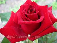 Роза «Софи Лорен». Чайно-гибридная роза.
