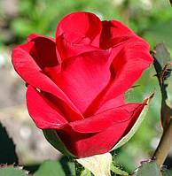 Роза Кардинал. Чайно-гибридная роза.