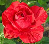 Роза Ред Интуишин. (ввв). Чайно-гибридная роза, фото 2