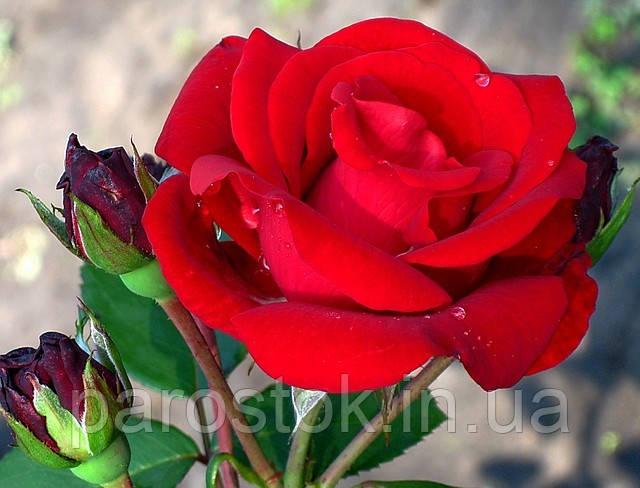 Саженцы роз Сантана. (вв). Плетистая роза