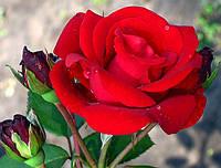 Саженцы роз Сантана. (вв). Плетистая роза, фото 1