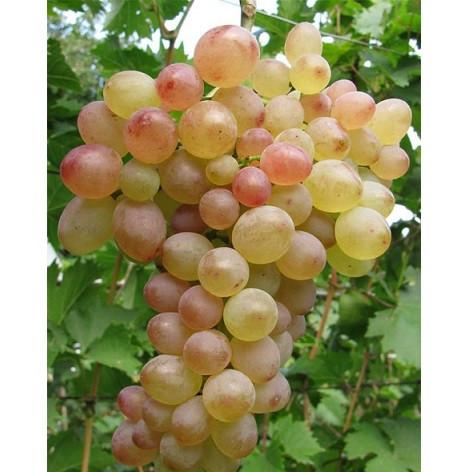 Виноград Капитан