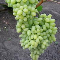 Виноград Кишмиш Столетие Centennial seedless