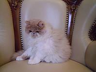 Котик, котенок персидский кремовый биколор