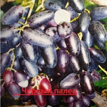 Виноград Чёрный палец