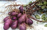 Картофель семенной Смуглянка 3кг , фото 1
