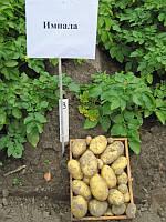 Картофель Импала 3кг