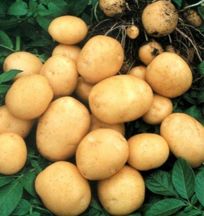 Картофель Гранада 3кг в сетках., фото 1