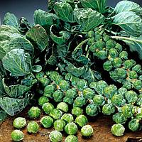 Семена брюссельской капусты Абакус F1 10 сем. Садыба Центр