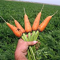 Семена моркови Шантане Ред Коред 400 сем. Садыба Центр