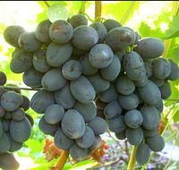 "Саженцы винограда сорт ""Руслан"""