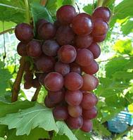 "Саженцы винограда сорт ""Блестящий"""