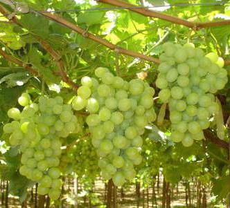 "Саженцы винограда сорт ""Гарольд"""
