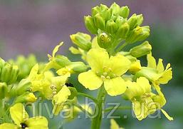 Сурепица озимая Семена Украины 1 кг