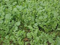 Редька Масличная Семена Украины 1 кг