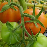 Златава семена томата индет. оранжевого Moravoseed 1 000 г